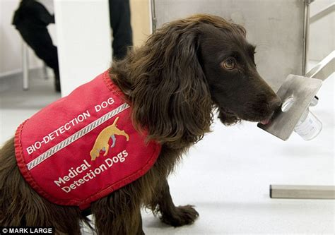 dogs detect cancer dogs that sniff out cancer can detect tumours with 93 accuracy daily mail