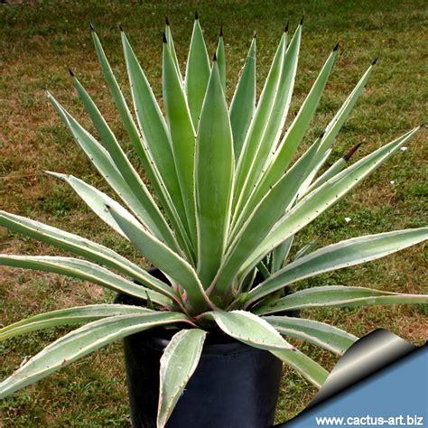 agave vaso agave vaso de pl 225 stico plantas ornamentais