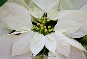 white poinsettia poinsettia beautiful flower pictures