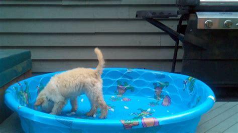 goldendoodle puppy vs an cube goldendoodle puppy vs cubes