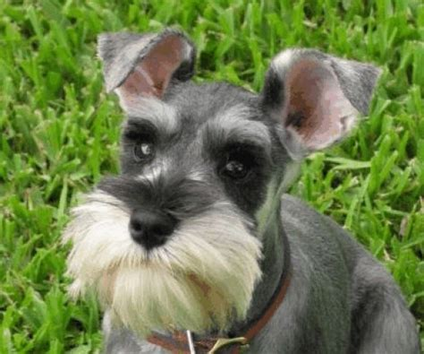 dogs with beards breeds with goatees beards and mustaches