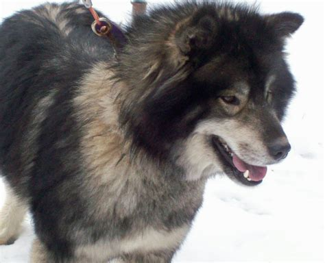 german shepherd wolf mix husky german shepherd wolf mix aww