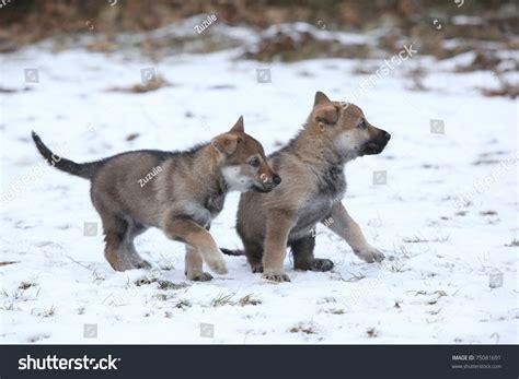 czechoslovakian wolfdog puppies czechoslovakian wolfdog puppies stock photo 75081691