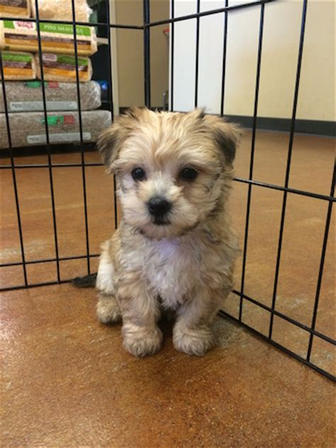 yorkie has diarrhea and vomiting says renton pet store sold them a puppy with parvovirus seattle dogspot