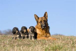25 cute mama dogs and their puppies for mother s day pics dogtime
