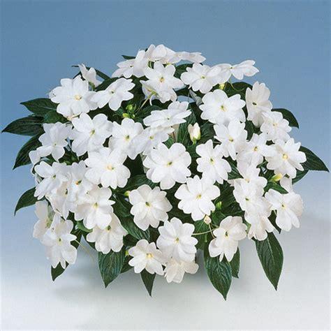 fiore nuova guinea nuova guinea quot harmony quot white