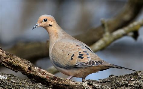 mourning doves very mournful song not the brightest of