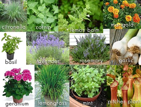 plants that repel mosquitoes 12 plants that repel mosquitos from your backyard living