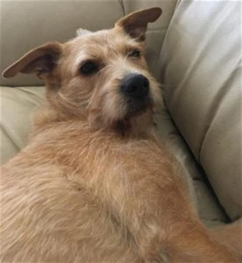 lab puppies seattle adopted seattle wa airedale terrier yellow lab mix heidi 4 yo