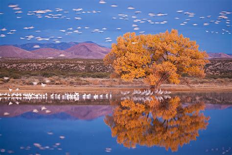 Home Interior Paintings snow geese bosque del apache
