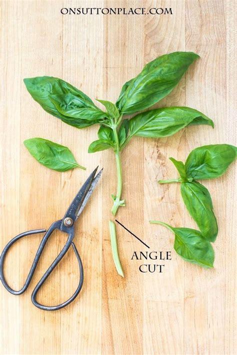 growing basil   propagate chop freeze