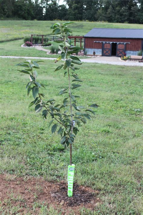 planting fruit trees in backyard how and why to plant fruit trees in the fall grow your own