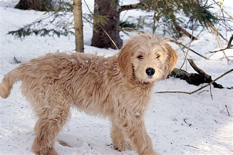 goldendoodle puppy how much food best food for goldendoodles 5 great options advice