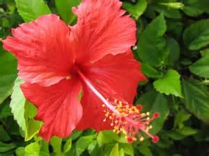 bunga raya shoe flower malaysia national flower full desktop backgrounds