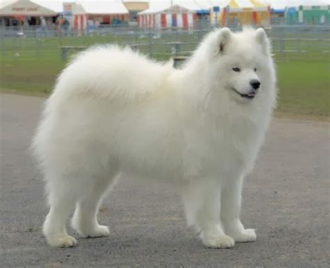 big fluffy dogs pin big white fluffy on