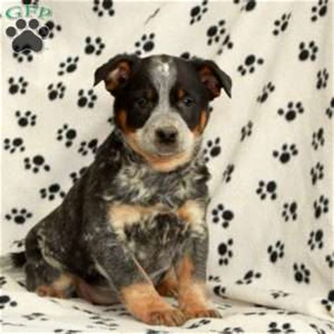 blue heeler mix puppies for sale blue heeler mix puppies for sale in pa