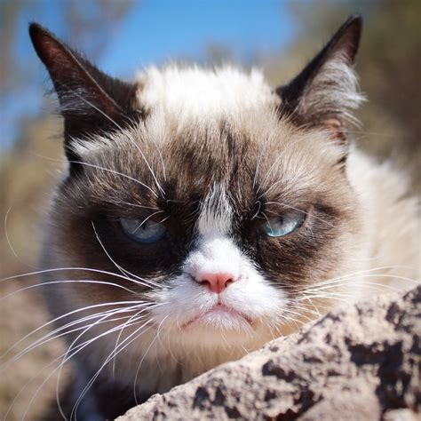 The Cat grumpy cat realgrumpycat