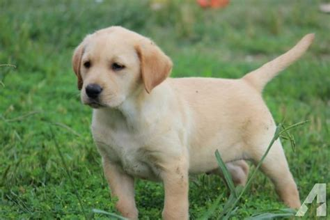 akc yellow lab puppies for sale akc yellow lab puppies 8 weeks for sale in royse city classified