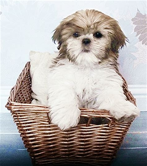 baby shih tzu names shih tzu puppies names images shih tzu world shih tzu