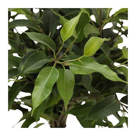 ficus planta interior ficus benjamina cultivo riego y cuidados plantas