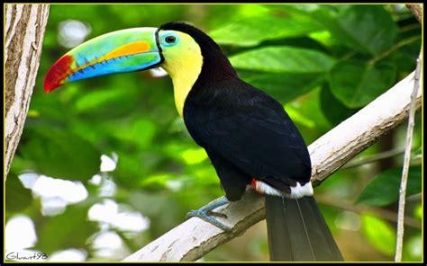 Toucan L by Fonds D 233 Cran Animaux Gt Fonds D 233 Cran Oiseaux Toucans Un