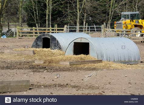 outdoor pig outdoor pig shelter on a farm uk stock photo