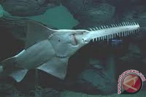 Gergaji Newest hiu gergaji danau sentani riwayatmu kini antara news