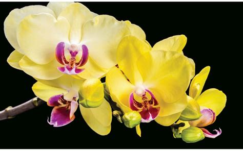 Orchid Yellow for wall 1343p8 orchid yellow