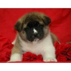 puppies for sale in prescott az akita puppies for sale arizona for sale prescott pets dogs