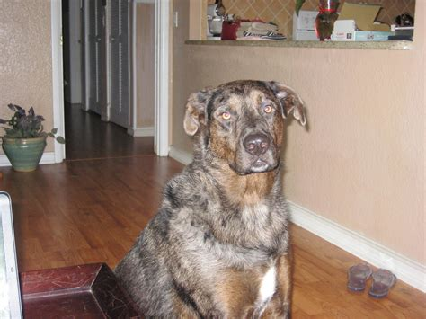 catahoula lab mix puppies for sale catahoula aussie breeds picture