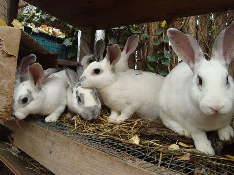 raising meat rabbits your backyard rabbit breeding for meat a beginner s guide expert