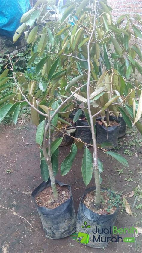 bibit durian petruk 70cm jualbenihmurah