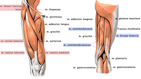 tendons in the knee diagram emg asymetricity of selected knee extensor muscles in