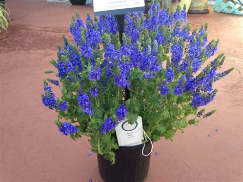 blue guide venice blue veronica austriaca venice blue przetacznik ząb 5740881545 oficjalne archiwum allegro