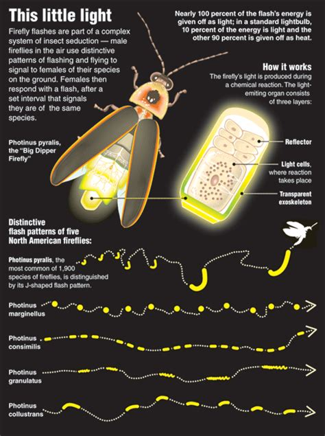 What Makes A Lightning Bug Light Up by Firefly Light Gnosticwarrior