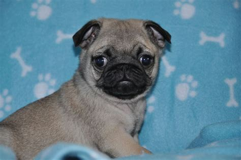the pug peterborough lovely kc pug puppy reduced peterborough cambridgeshire pets4homes
