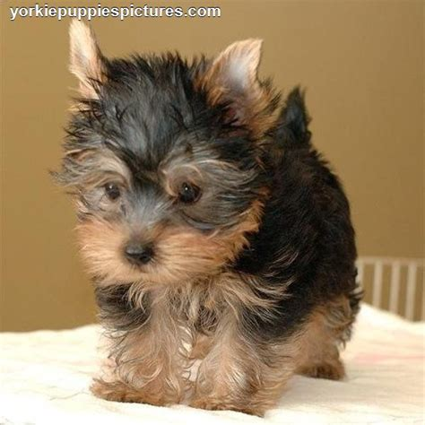 pictures of yorkie puppies maltese pictures yorkiepuppiespictures