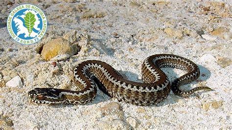 imagenes de serpientes oscuras qu 201 hacer y qu 201 no hacer si te muerde una v 205 bora