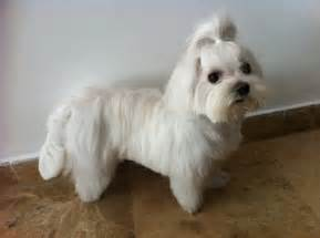 different maltese haircuts pictures a different haircut olivia my maltese pinterest