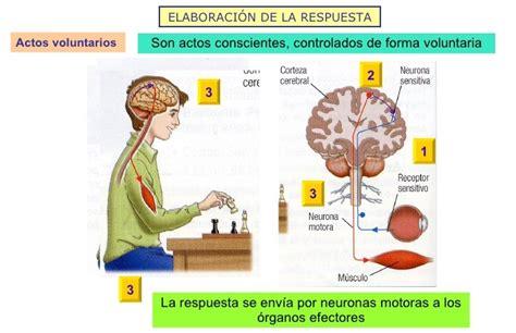 los receptores sensoriales 79 receptores sensoriales mas de 25 ideas