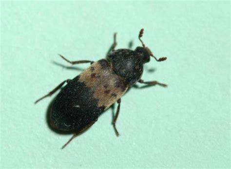 larder beetles umn extension