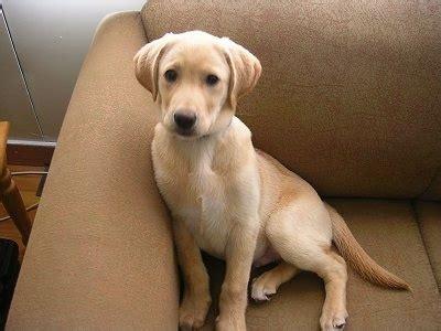 labrador retriever dog breed pictures