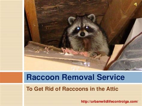 Get Rid Of Raccoons In Backyard 28 Images How To Get How To Get Rid Of Raccoons In Your Backyard