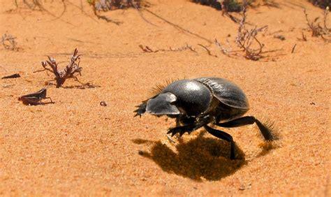 imagenes de animales del desierto related keywords suggestions for insectos del desierto