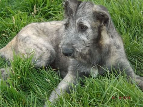 wolfhound puppy wolfhound puppy for sale northallerton pets4homes
