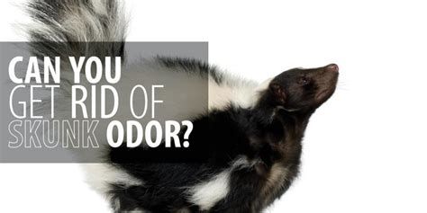 how do you get rid of skunks in your backyard can you get rid of skunk odor rainbow international