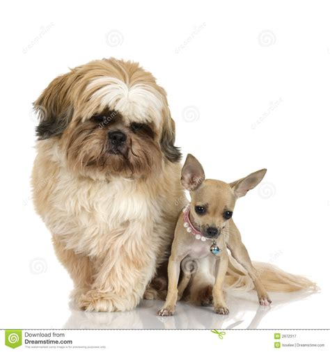 shih tzu chihuahua prices chihuahua and shih tzu royalty free stock photography image 2672317