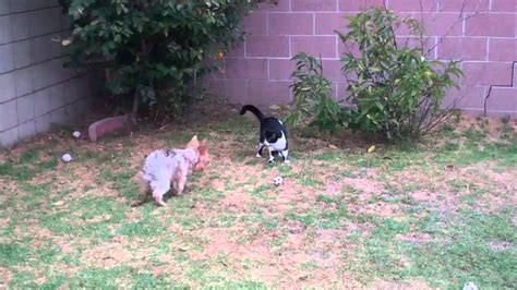 yorkie vs cat yorkie vs cat yorkie fan club