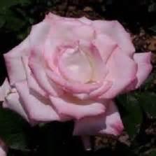 Tanaman Hias Floribunda White tanaman mawar floribunda ungu