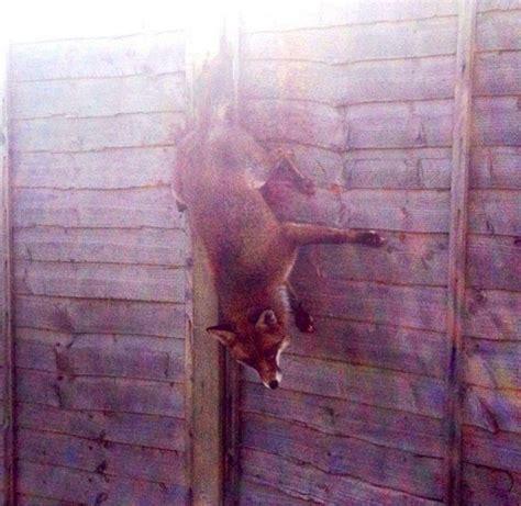 atrapad la vida una protectora de animales rescat 243 a un zorro que llevaba atrapado cuatro horas en una valla